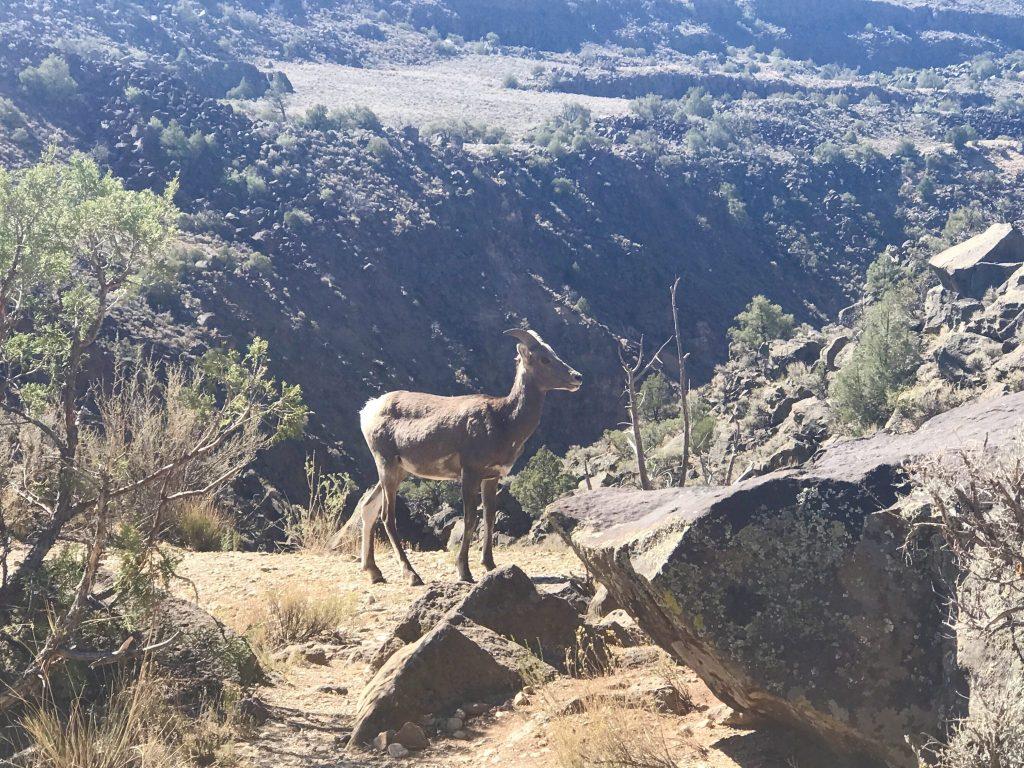 Big Horn Sheep on Rio Grande Gorge