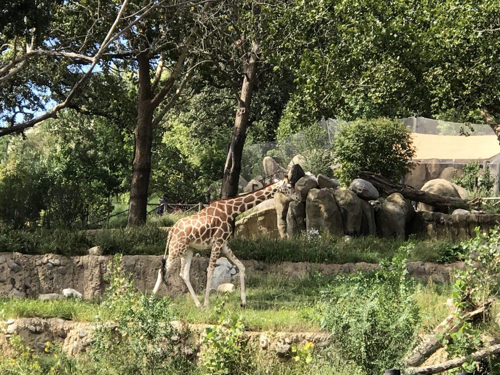 Giraffe inside enclosure at Omaha Zoo