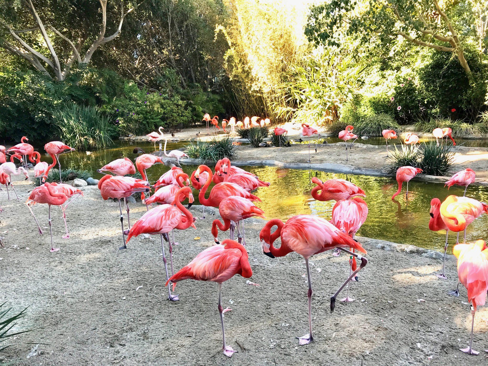 pink flamingos San Diego Zoo