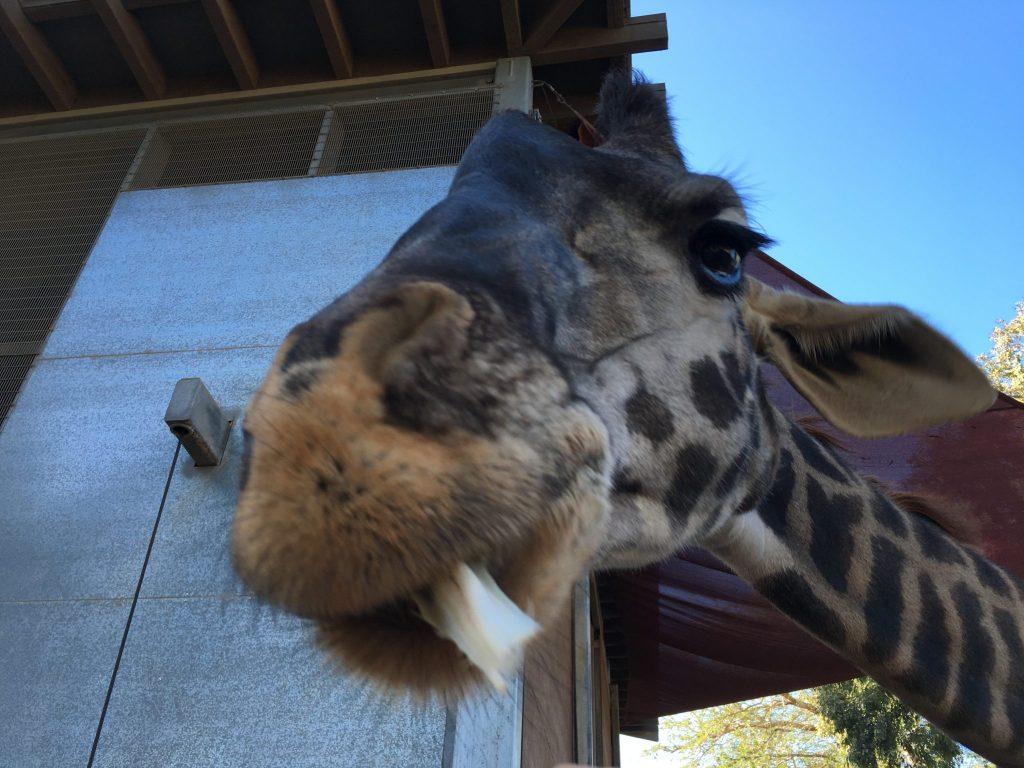 giraffe close up at San Diego Zoo