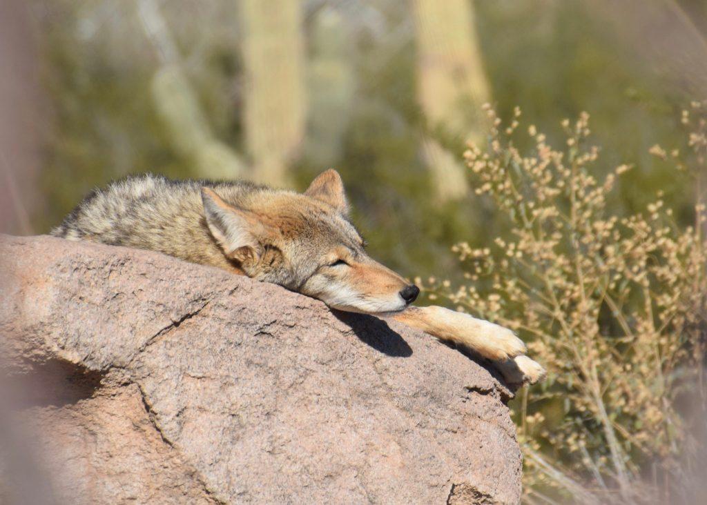 napping coyote at Arizona-Sonoma Desert Museum Tucson