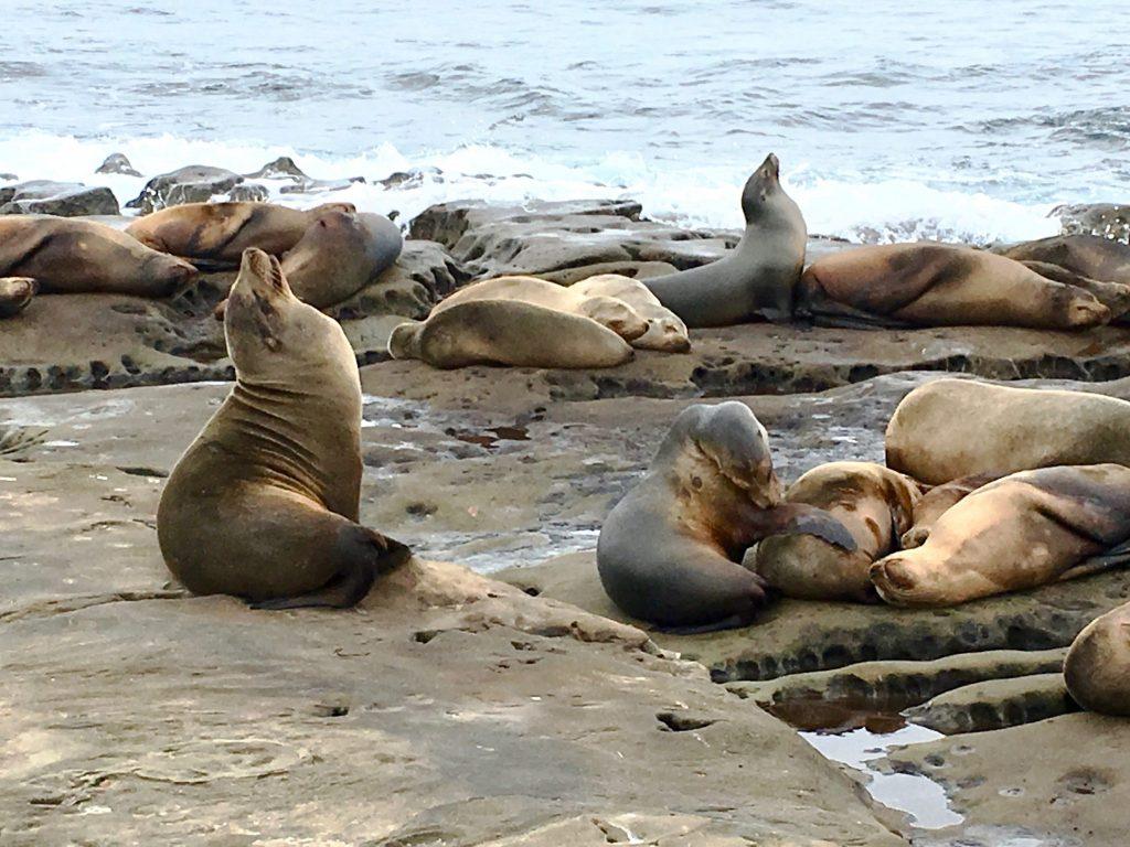 harbor seals La Jolla Cove