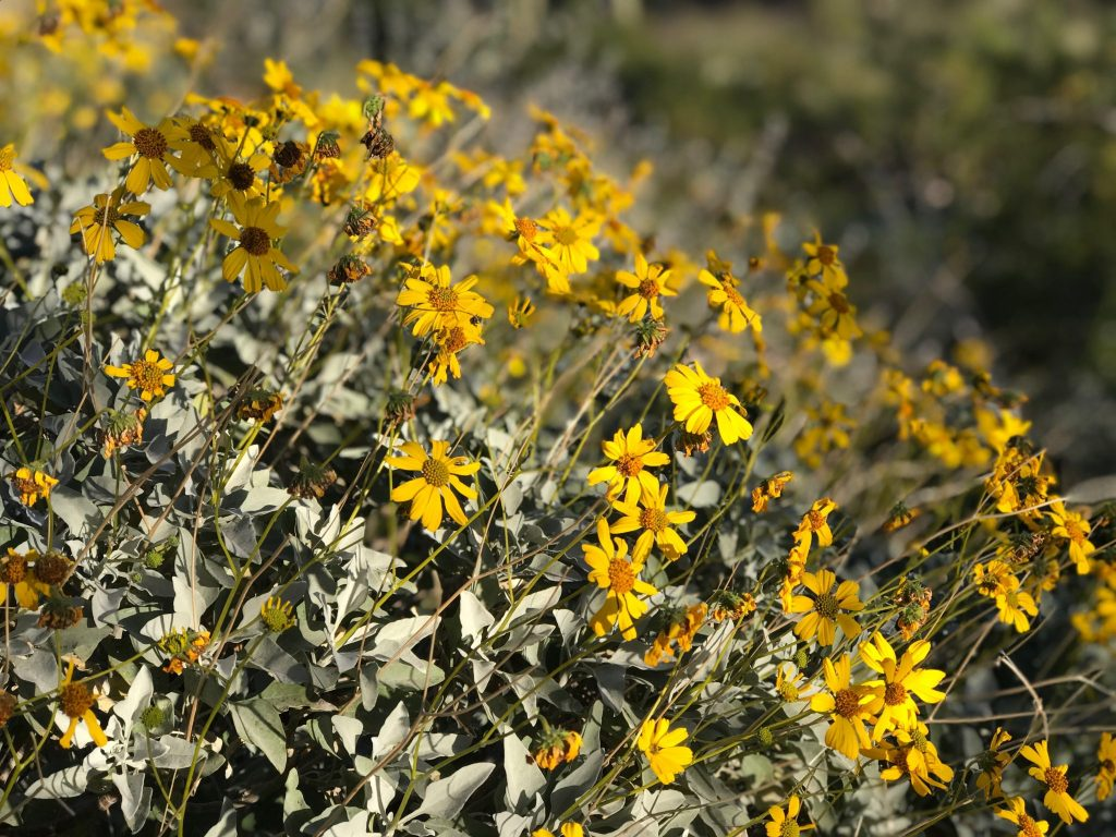 yellow desert flowers blooming on a hillside in Tucson, Arizona