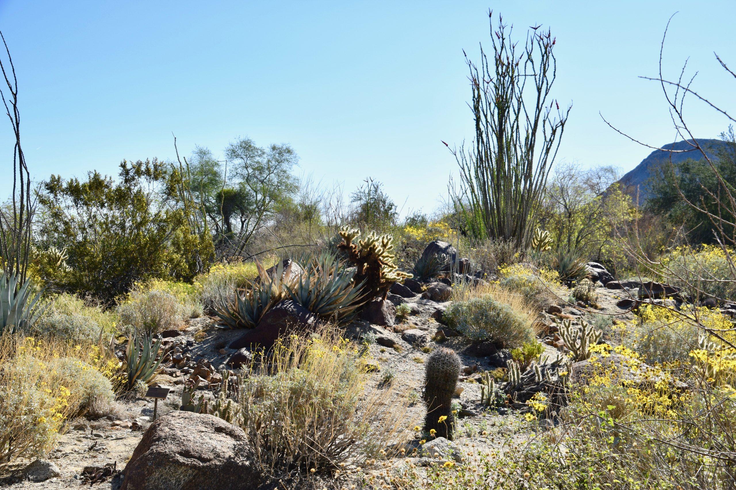 Spring desert flowers bloom on rocky hillside in Palm Springs
