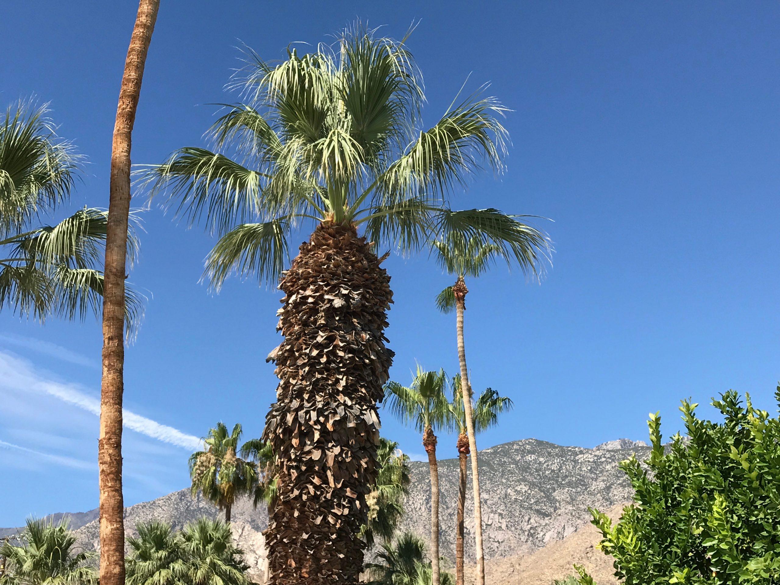 Mexican fan palms wave in the breeze near Palm Springs, CA