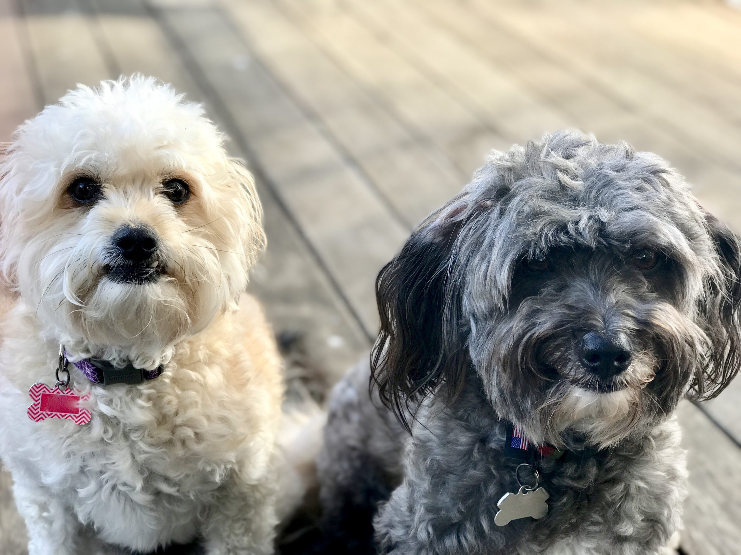 two rescue dogs look directly at camera while sitting on wood deck