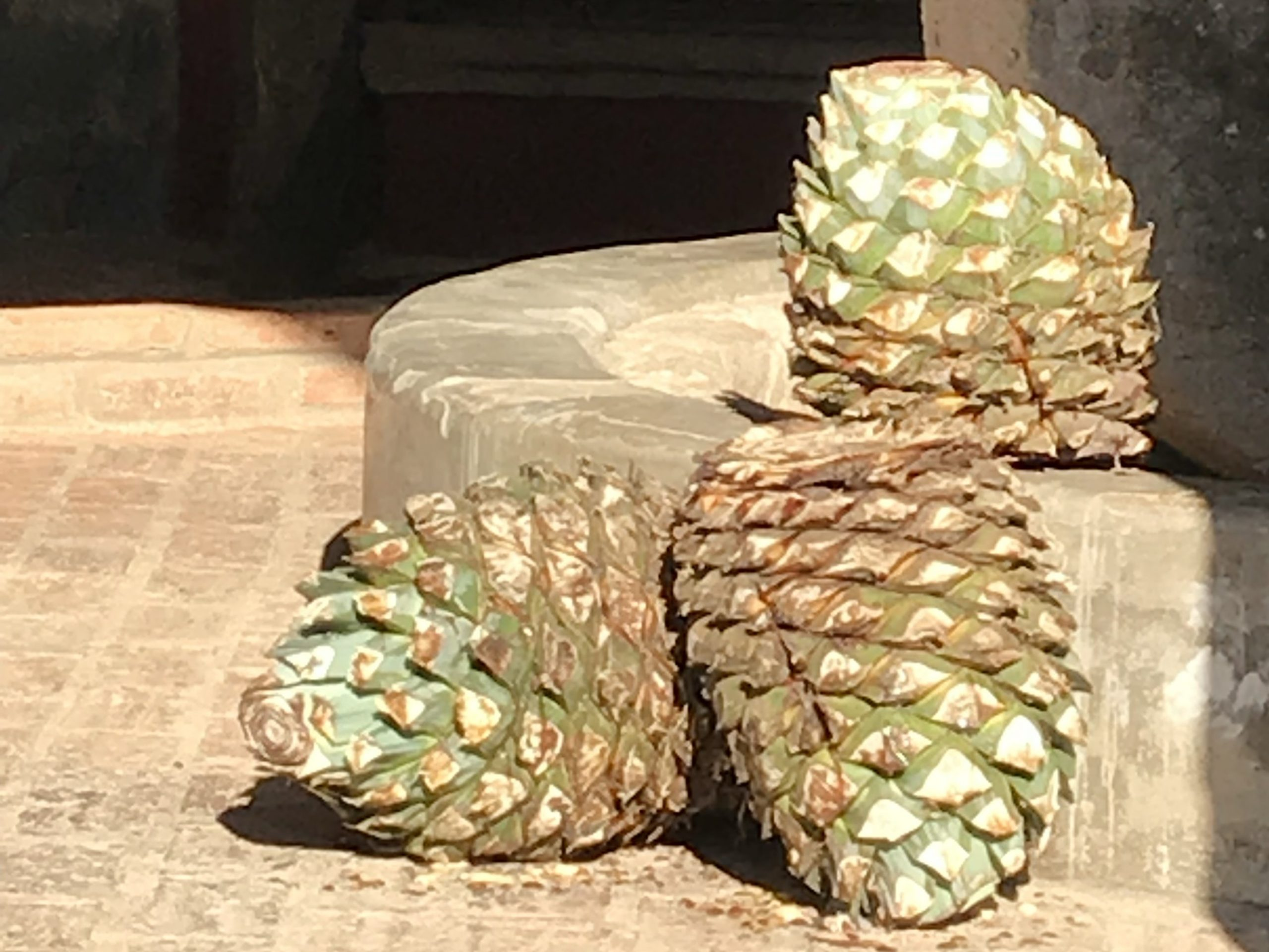 The pina of a blue agave plant for making tequila in Mexico.