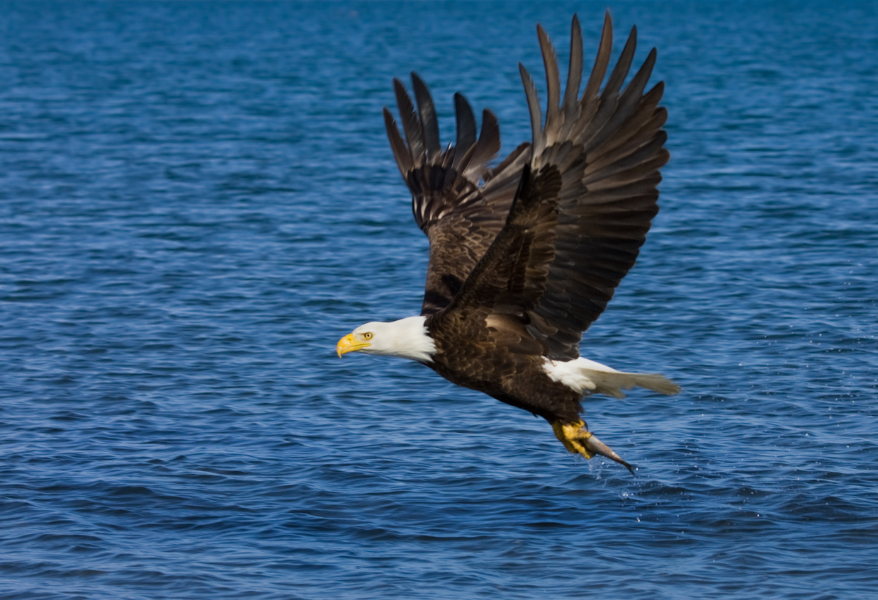 Bald Eagle snatching a fish from the ocean - Alaska.