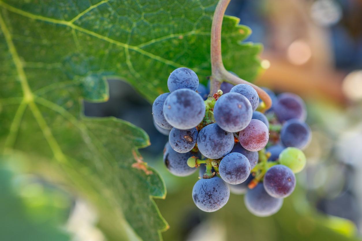 Grapes growing in San Luis Obispo
