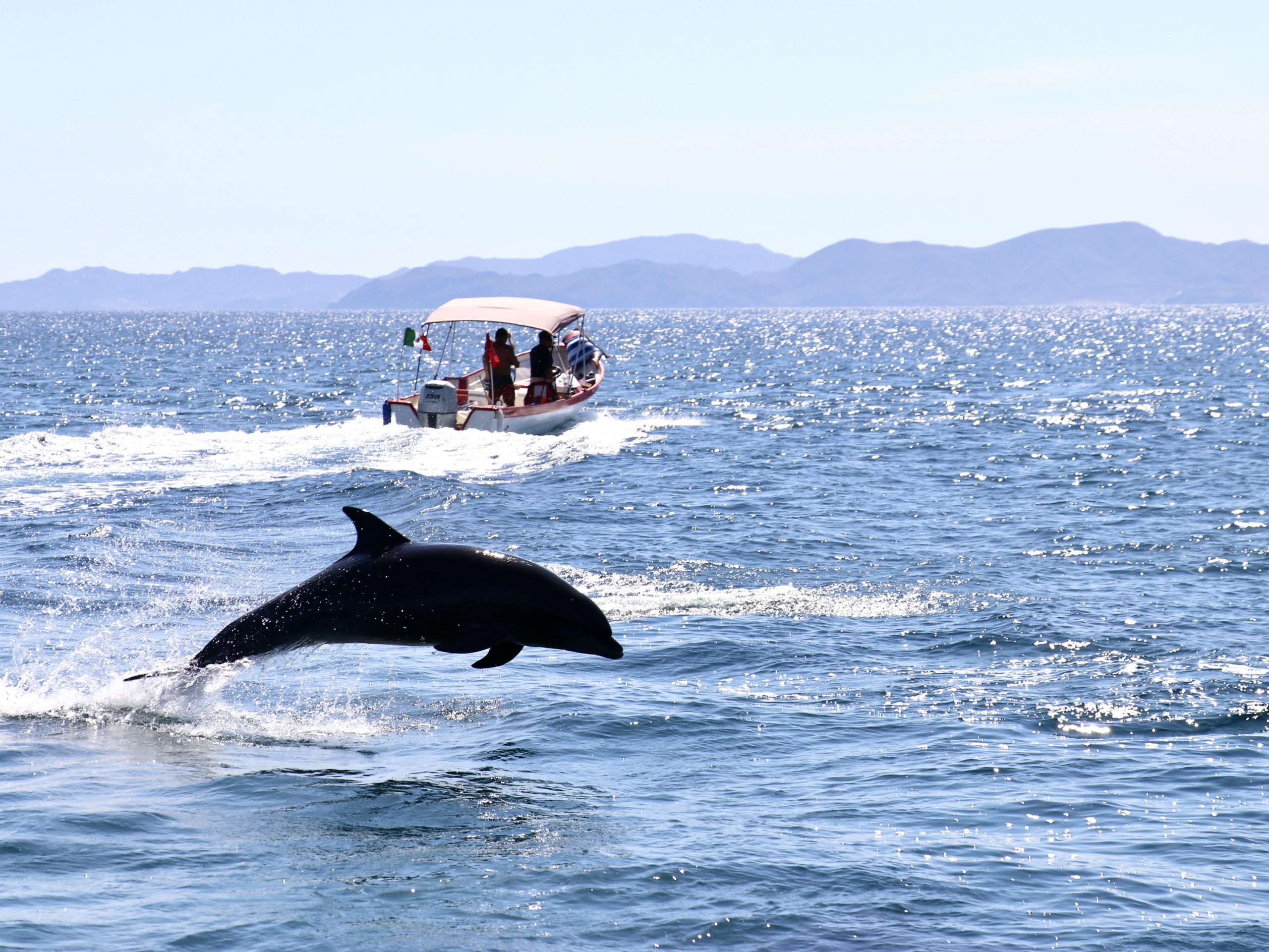 Bottlenose Dolphin jumps out of the waters of the Sea of Cortez near Loreto, Mexico with a dive boat in the background