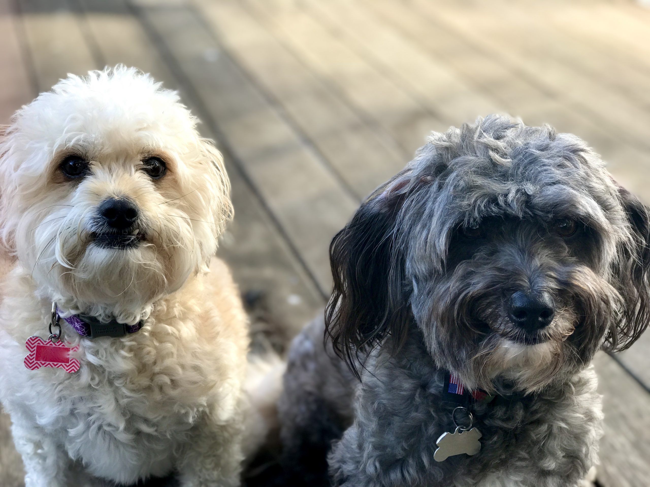 two small fluffy dogs sit and look at camera