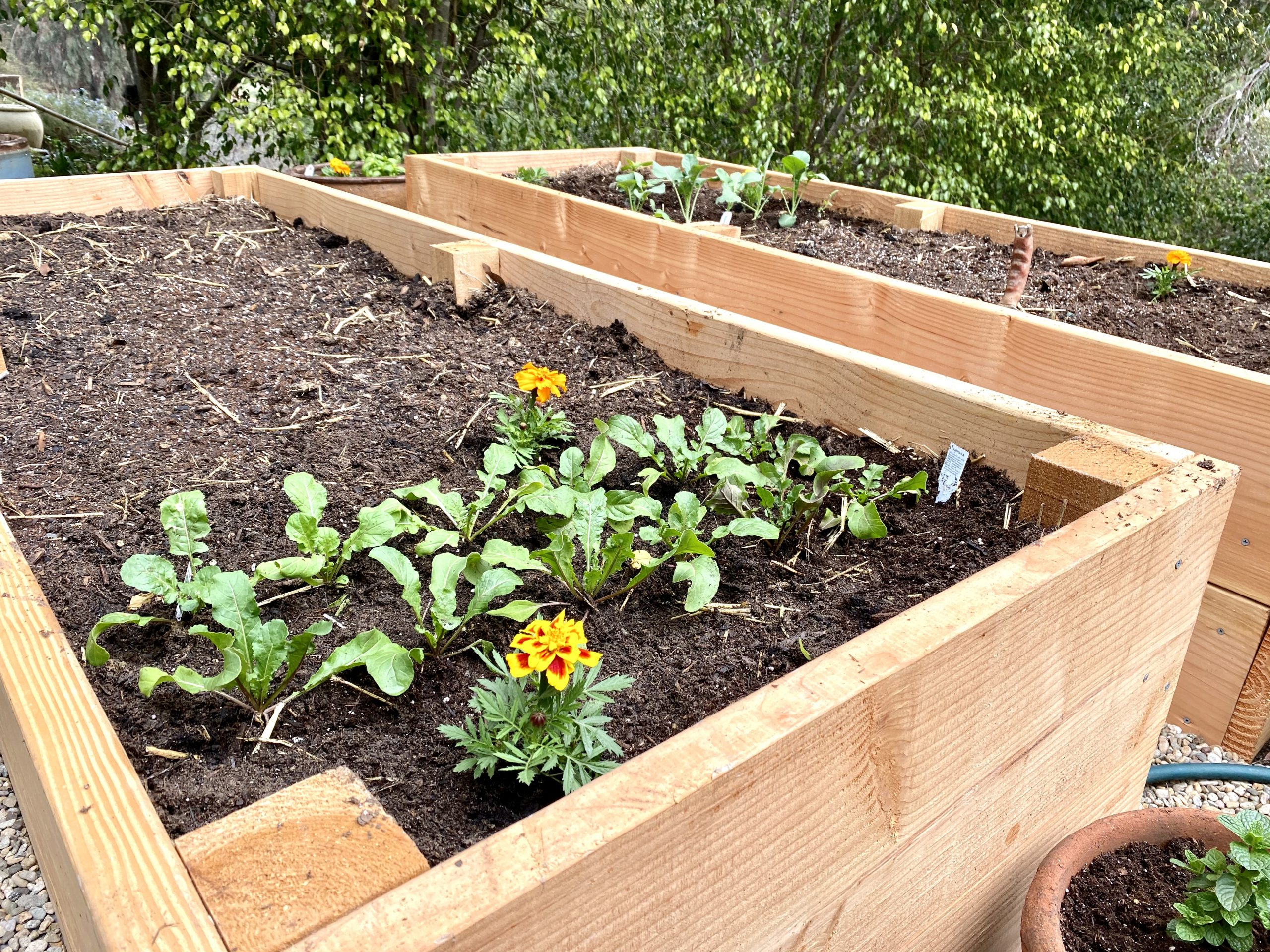 new vegetable garden raised beds are freshly planted