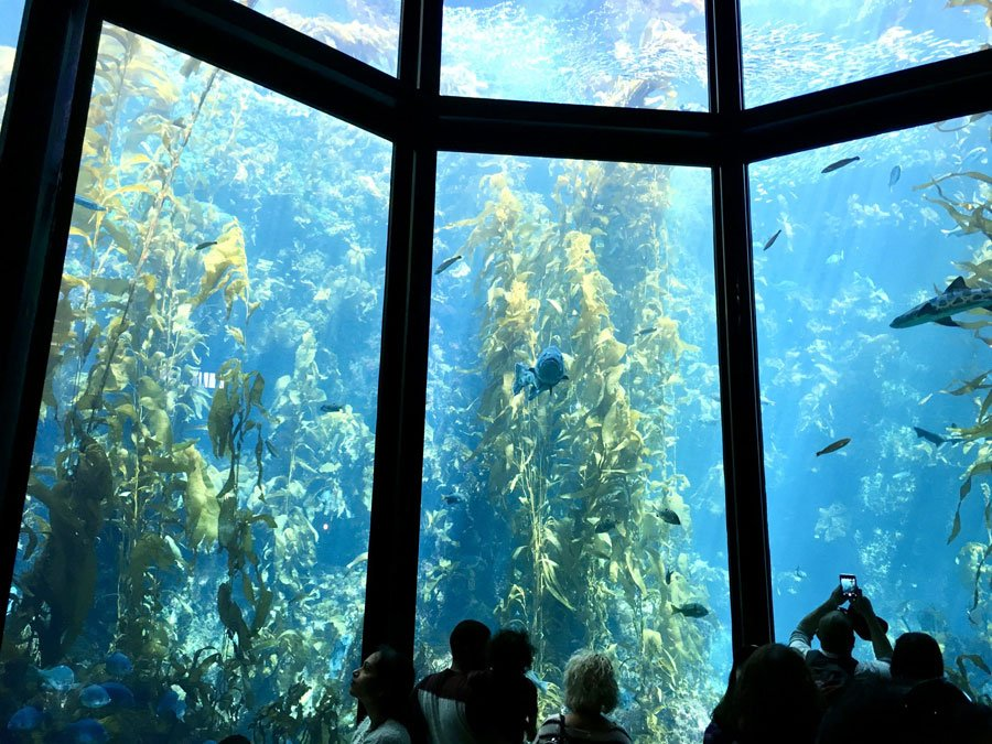 The kelp tank inside Monterey Bay Aquarium dwarfs visitors as they stand before it and watch the fishes