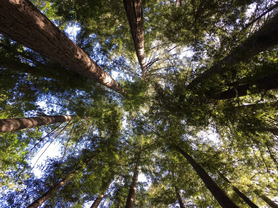 Looking straight up among the redwood trees in Big Sur, CA